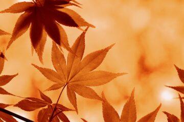 maple, fall, mood